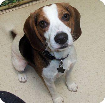 Beagle Dog for adoption in Portland, Oregon - Daisy