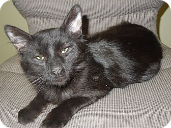 Domestic Mediumhair Cat for adoption in Medina, Ohio - Ceelo