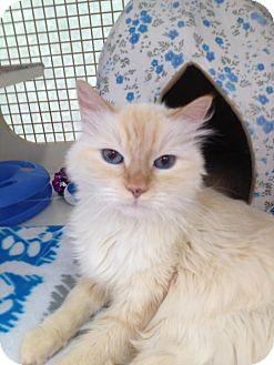 Siamese Cat for adoption in Fountain Hills, Arizona - REVLON