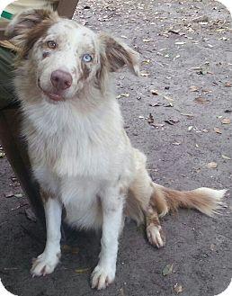 Australian Shepherd Dog for adoption in Orlando, Florida - Spice