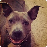 Adopt A Pet :: Chyna - Charlotte, NC