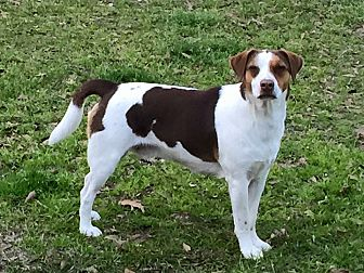 Beagle/Terrier (Unknown Type, Medium) Mix Dog for adoption in St. Francisville, Louisiana - Finnegan