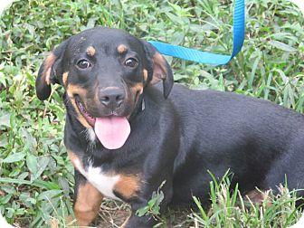Basset Hound/Labrador Retriever Mix Puppy for adoption in Hagerstown, Maryland - Loki