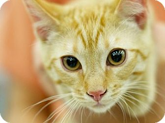 Domestic Shorthair Kitten for adoption in Great Falls, Montana - Sunny