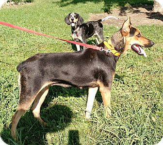 Doberman Pinscher/German Shepherd Dog Mix Dog for adoption in Macomb, Illinois - Briar