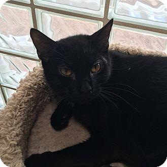 Domestic Shorthair Kitten for adoption in Westminster, California - Helena