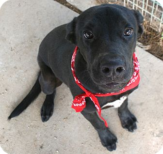 Labrador Retriever Mix Dog for adoption in Pilot Point, Texas - ETHAN
