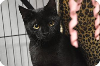 Domestic Shorthair Kitten for adoption in Miami Shores, Florida - Sydney