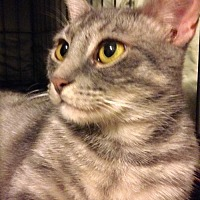 Adopt A Pet :: Cagney the Sun-Cat! - Brooklyn, NY