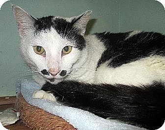 Domestic Shorthair Cat for adoption in Palm City, Florida - Charlie Chaplin