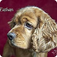 Adopt A Pet :: Eathan - Rancho Mirage, CA