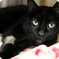 Domestic Mediumhair Cat for adoption in Bellevue, Washington - Modo