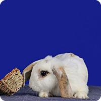Adopt A Pet :: Athena - Marietta, GA