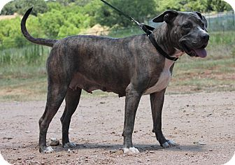 Pit Bull Terrier Mix Dog for adoption in Marble Falls, Texas - Maggie