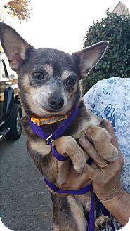 Chihuahua Mix Dog for adoption in Gainesville, Georgia - smokey
