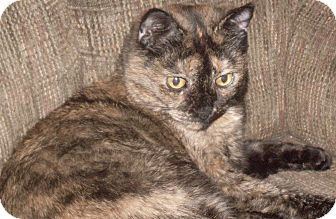 Domestic Shorthair Cat for adoption in Buhl, Idaho - Maggie May
