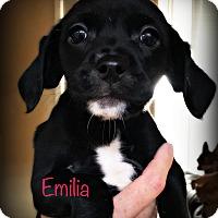 Adopt A Pet :: Emilia - Tijeras, NM