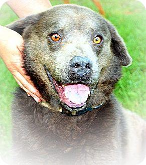 Siberian Husky/Chow Chow Mix Dog for adoption in Linton, Indiana - Smokey