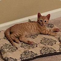 Domestic Shorthair Kitten for adoption in Memphis, Tennessee - Sriracha