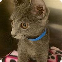 Adopt A Pet :: Charlie Girl- Simply Adorable! - Arlington, VA