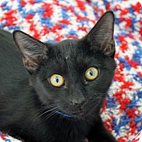 Domestic Shorthair Cat for adoption in Mountain Center, California - Parsley