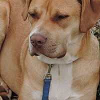 Boxer/Labrador Retriever Mix Dog for adoption in Anderson, South Carolina - Conrad