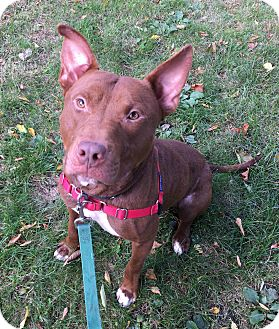 Pit Bull Terrier/Shepherd (Unknown Type) Mix Dog for adoption in Oak Park, Illinois - Buster Brown