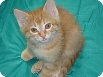 Domestic Shorthair Kitten for adoption in Fort Atkinson, Wisconsin - Delaney