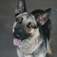 Shepherd (Unknown Type) Mix Dog for adoption in Canoga Park, California - Princess