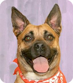 Boxer/German Shepherd Dog Mix Dog for adoption in Cincinnati, Ohio - Spice