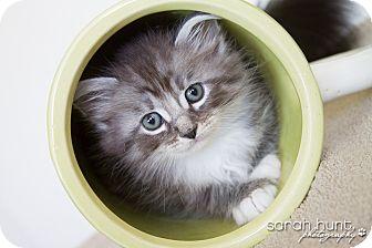Domestic Mediumhair Kitten for adoption in Irvine, California - Patrick