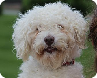 Bichon Frise/Poodle (Miniature) Mix Dog for adoption in South Amboy, New Jersey - Scrappy