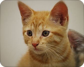 Domestic Shorthair Kitten for adoption in Trevose, Pennsylvania - Fred