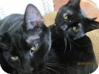 Domestic Shorthair Cat for adoption in Maywood, Illinois - Sophie and Sylvia