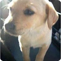 Adopt A Pet :: Penny - Roseville, MI