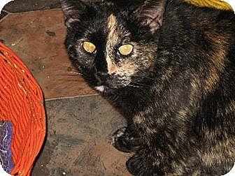 Domestic Shorthair Cat for adoption in Sherman Oaks, California - Tinkerbell