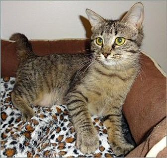 Domestic Shorthair Cat for adoption in Atlanta, Georgia - Mini Winnie