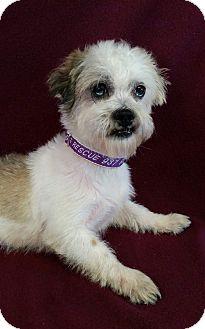 Shih Tzu Mix Dog for adoption in Urbana, Ohio - Castle Barkley