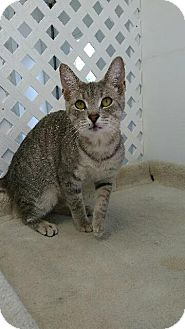 Domestic Shorthair Cat for adoption in Austintown, Ohio - Biscuit