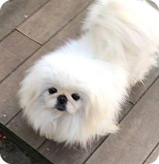Pekingese Dog for adoption in Portland, Maine - Jackie
