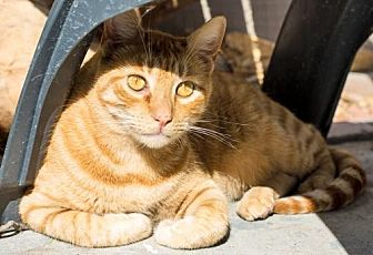 American Shorthair Cat for adoption in Santa Monica, California - Batman