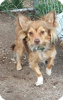 Papillon/Chihuahua Mix Dog for adoption in Carthage, North Carolina - Scamp