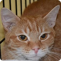 Adopt A Pet :: Herman - Albany, NY