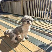Shih Tzu Mix Dog for adoption in Pomfret, Connecticut - Jack
