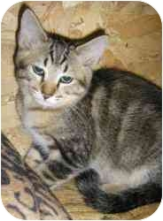Domestic Shorthair Cat for adoption in Strathmore, Alberta - Groucho Marx