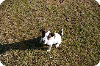 Australian Shepherd/Hound (Unknown Type) Mix Puppy for adoption in North Brunswick, New Jersey - Jerry