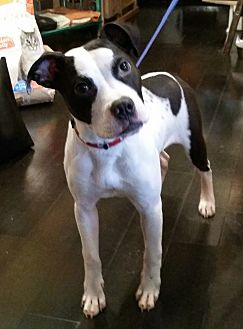 American Staffordshire Terrier/Hound (Unknown Type) Mix Dog for adoption in nashville, Tennessee - Toliver