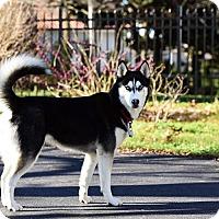 Adopt A Pet :: Irina - Horsham, PA