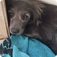 Chihuahua/Pomeranian Mix Dog for adoption in San Antonio, Texas - Tulip