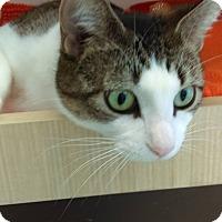 Adopt A Pet :: CC the Campground Cat - Stafford, VA